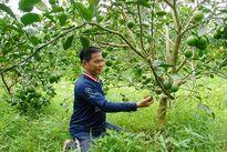 Cải thiện phẩm chất cây có múi