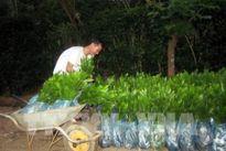 Sẽ điều chỉnh giảm mức thu phí bảo hộ giống cây lâm nghiệp
