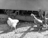 Ly kỳ chuyện gà mất đầu vẫn sống thêm 1,5 năm mới chết