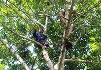Mạo hiểm nghề trèo trám ở xứ Nghệ