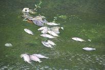 Cá chết hàng loạt, bốc mùi ở hồ điều hòa Nguyễn Du