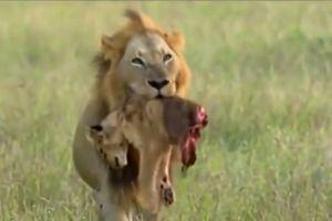 Clip: Rợn người trước cảnh sư tử xé xác con non