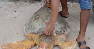 Rùa biển 60 kg bò vào nhà máy Nhiệt điện Vĩnh Tân