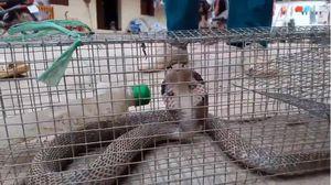 Clip: Hãi hùng xem con rắn hổ mang xiêm hung tợn nhất người dân từng bẫy được