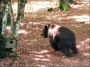 Gấu dữ xua hơn 200 con cừu rơi xuống vực