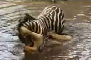 Clip: Sư tử suýt chết đuối vì bị ngựa vằn dìm xuống sông