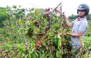 Nhóm thanh niên chặt phá gần 450 cây cà phê sắp thu hoạch