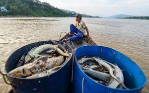 400 tấn cá chết do sặc nước