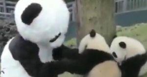 Nghề 'siêu hot' đóng giả gấu trúc để chơi với gấu con