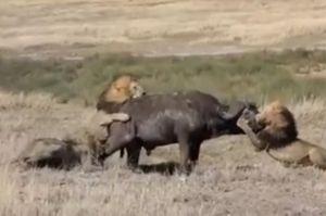Clip: 3 con sư tử đực kéo trâu rừng xuống hố để ăn thịt
