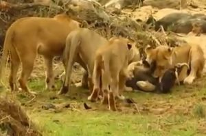 Clip: Lợn bướu bị xé xác vì cả gan 'chống đối' sư tử