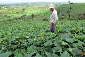 Người nông dân lao đao vì bí đỏ mất mùa, trượt giá