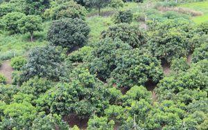 Xem người dân Sơn La thu tiền tỷ từ trồng nhãn ghép