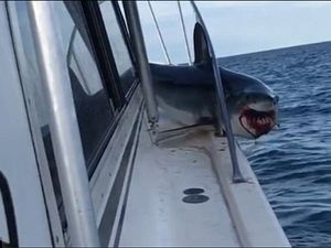 Cá mập quằn quại trong đau đớn vì mắc kẹt trên thuyền đánh cá