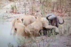 Clip: Trâu rừng chết thảm dưới nanh vuốt 3 con sư tử