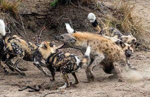 Clip: Chó hoang 'đánh hội đồng' xử đẹp linh cẩu