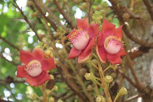 Hoa vô ưu đỏ rực trước cửa chùa Thiên Mụ khiến du khách đắm say