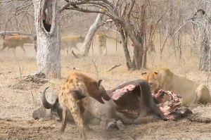 Clip: Sư tử bị bầy linh cẩu 'tẩn nhừ xương'