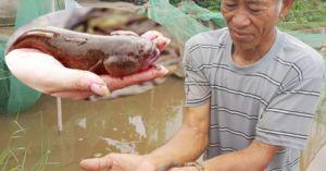 Làm giàu ở nông thôn: Rắc muối 'thả thính' cá bớp 'bốn mắt', thu trăm triệu/năm