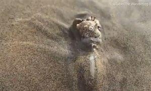 Kinh ngạc, sên biển trùm dạ dày ăn sống cua ẩn sĩ