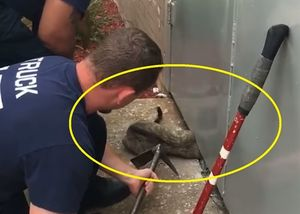 Nghẹt thở với màn giải cứu mèo bị kẹt đầu dưới cửa kim loại