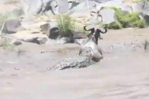 Clip: Linh dương đầu bò chết thảm trước hàm cá sấu