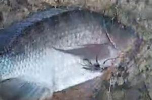 Clip: Câu cá rô phi 2,7 kg trên sông Đồng Nai