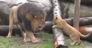 Cảm động cảnh sư tử con lần đầu gặp bố