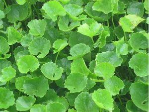 Biết được những điều này, bạn sẽ trồng ngay cây rau má trong vườn nhà