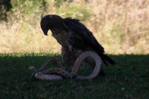 Clip: Đại bàng ác chiến với rắn độc khổng lồ