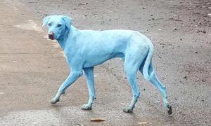 Ấn Độ: Chó bị 'nhuộm' xanh vì nhà máy xả thải ra sông