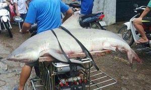 Sự thực chuyện cá mập xuất hiện ở Vịnh Hạ Long