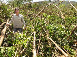 Tan hoang rừng trồng Quảng Bình sau bão