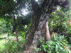 Cây hồng 'nhung' trăm tuổi chỉ mới thấy có ở Vĩnh Long