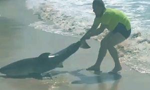 Người đàn ông tay không đưa cá mập mắc cạn về biển