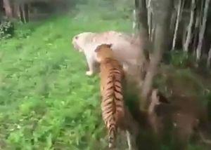 Hổ trắng quý hiếm bị đồng loại xé xác trong chuồng