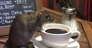 Phát hoảng với quán cafe toàn chuột cống