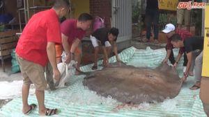 Cận cảnh cá đuối 216 kg từ Thái Lan về Việt Nam