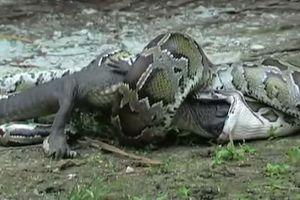 Trăn khổng lồ nuốt trọn cá sấu