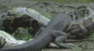 Trăn khổng lồ nuốt chửng cá sấu sau trận kịch chiến