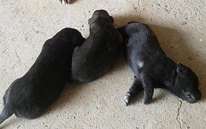 Nghẹt thở xem chó mẹ cào đất cứu 3 con mắc kẹt trong hang sâu