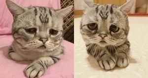 Chú mèo mặt buồn thiu như 'mất sổ gạo' vẫn thu hút triệu 'like'