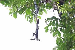 Clip: Rắn hổ mang chúa đu mình trên cây tấn công kỳ đà