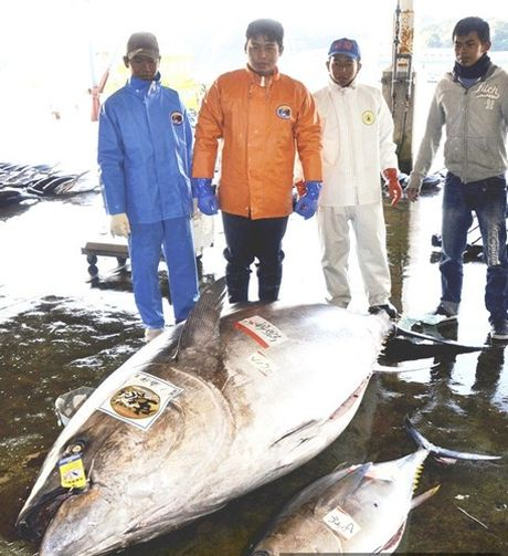 Bat duoc thuy quai ca ngu nang 417 kg o Nhat Ban - Anh 5