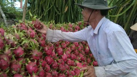 Nguoi Trung Quoc bi phat vi mua thanh long Viet trai phep - Anh 1