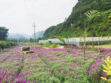 Ngan ngo truoc mua hoa oai huong o thung lung Bac Ha - Anh 10