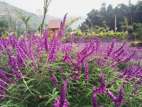 Ngan ngo truoc mua hoa oai huong o thung lung Bac Ha - Anh 1
