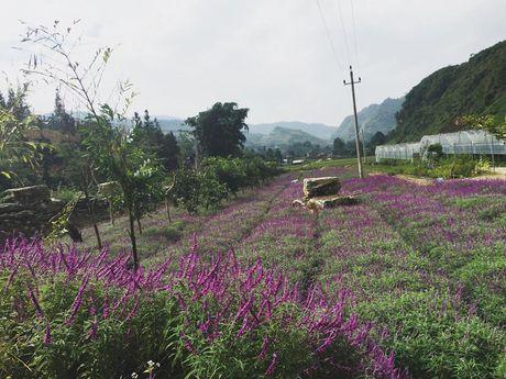Ngan ngo truoc mua hoa oai huong o thung lung Bac Ha - Anh 2