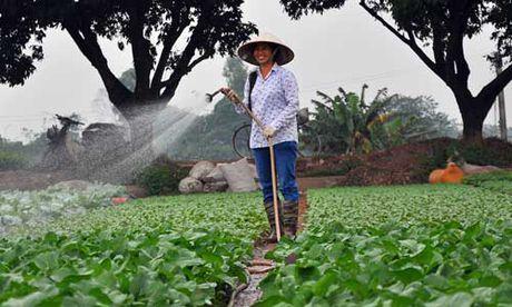 Vua rau - lua Dong Anh dat chuan nong thon moi - Anh 1