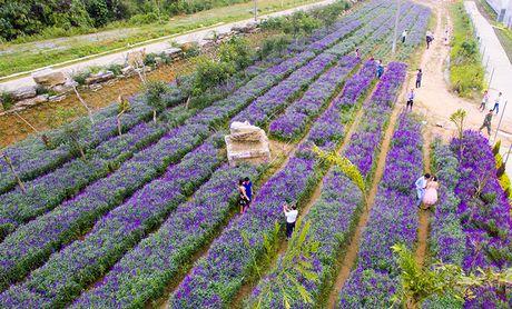 Tim biec hoa oai huong tren cao nguyen trang - Anh 1